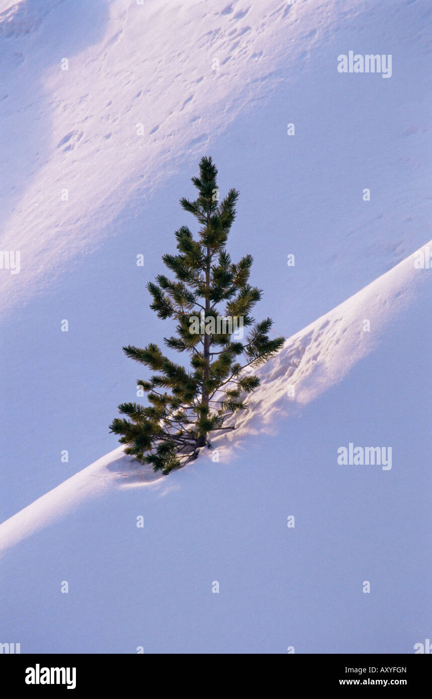 Pine tree in snow, Bryce Canyon National Park, Utah, United States of America, North America - Stock Image