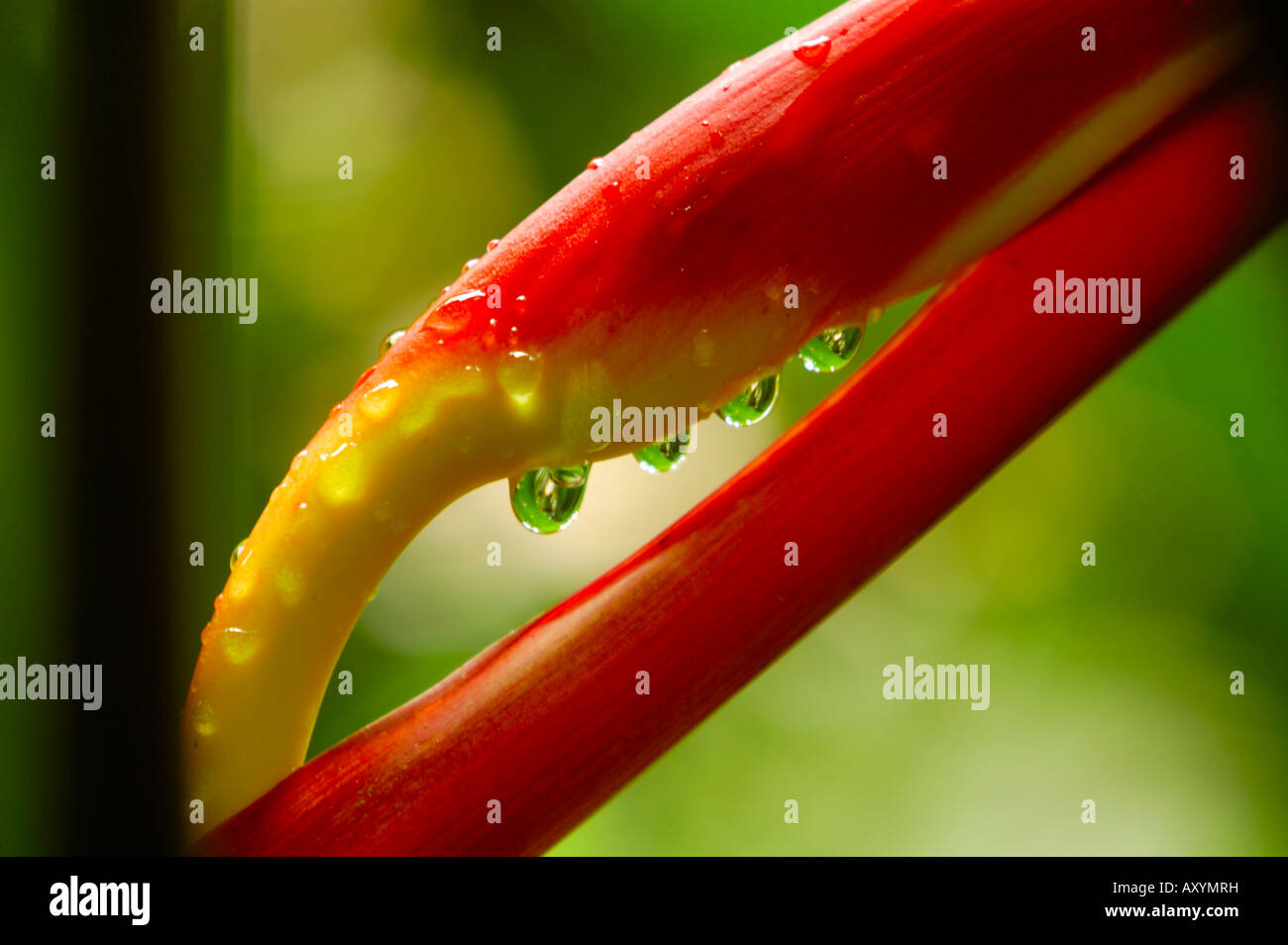 heliconia flower after a summer rain (heliconia latispatha, heliconeaceae) - Stock Image
