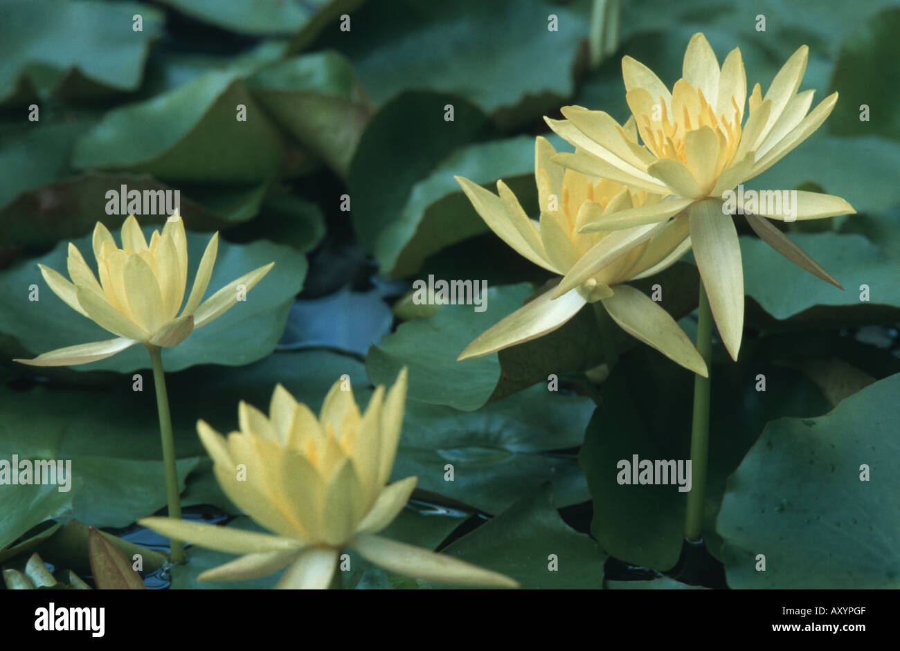 Mexican Lily Stock Photos Mexican Lily Stock Images Alamy