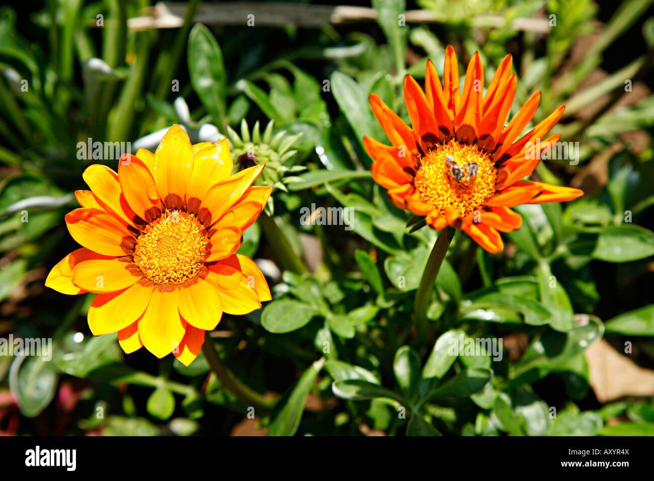 Gazania Family Asteraceae Stock Photos Gazania Family Asteraceae