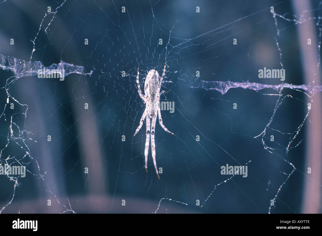 hackled orbweaver (Uloborus walckenaerius) - Stock Image