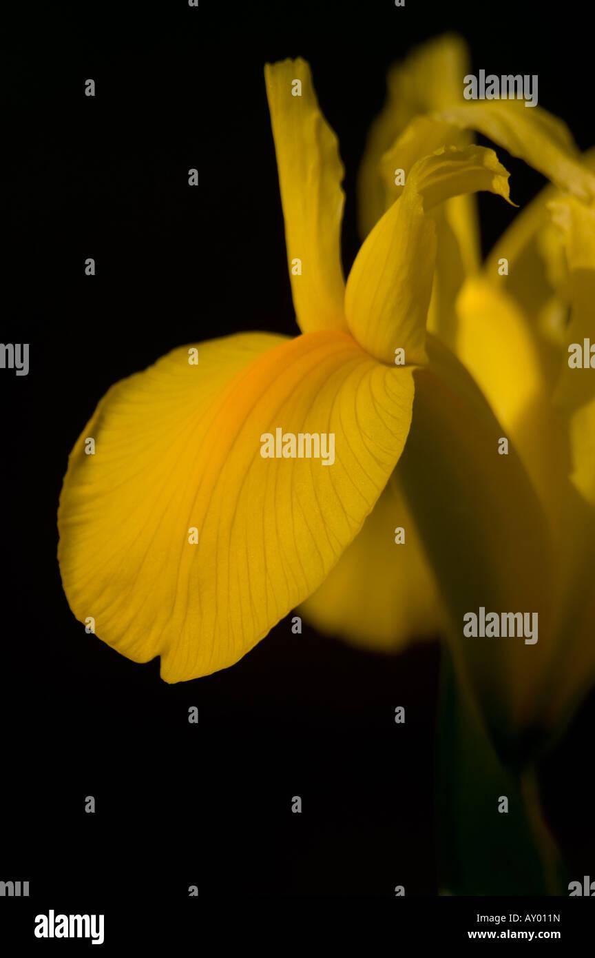 Dutch iris Iridaceae hollandica 'Royal Yellow' - Stock Image