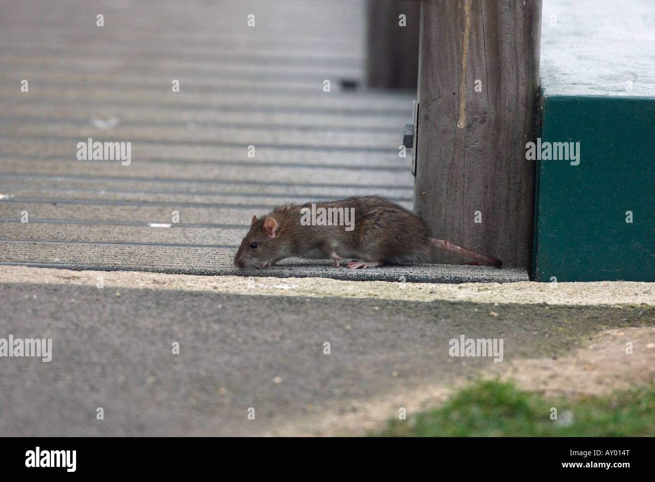 Brown rat Rattus norvegicus Dorset winter - Stock Image