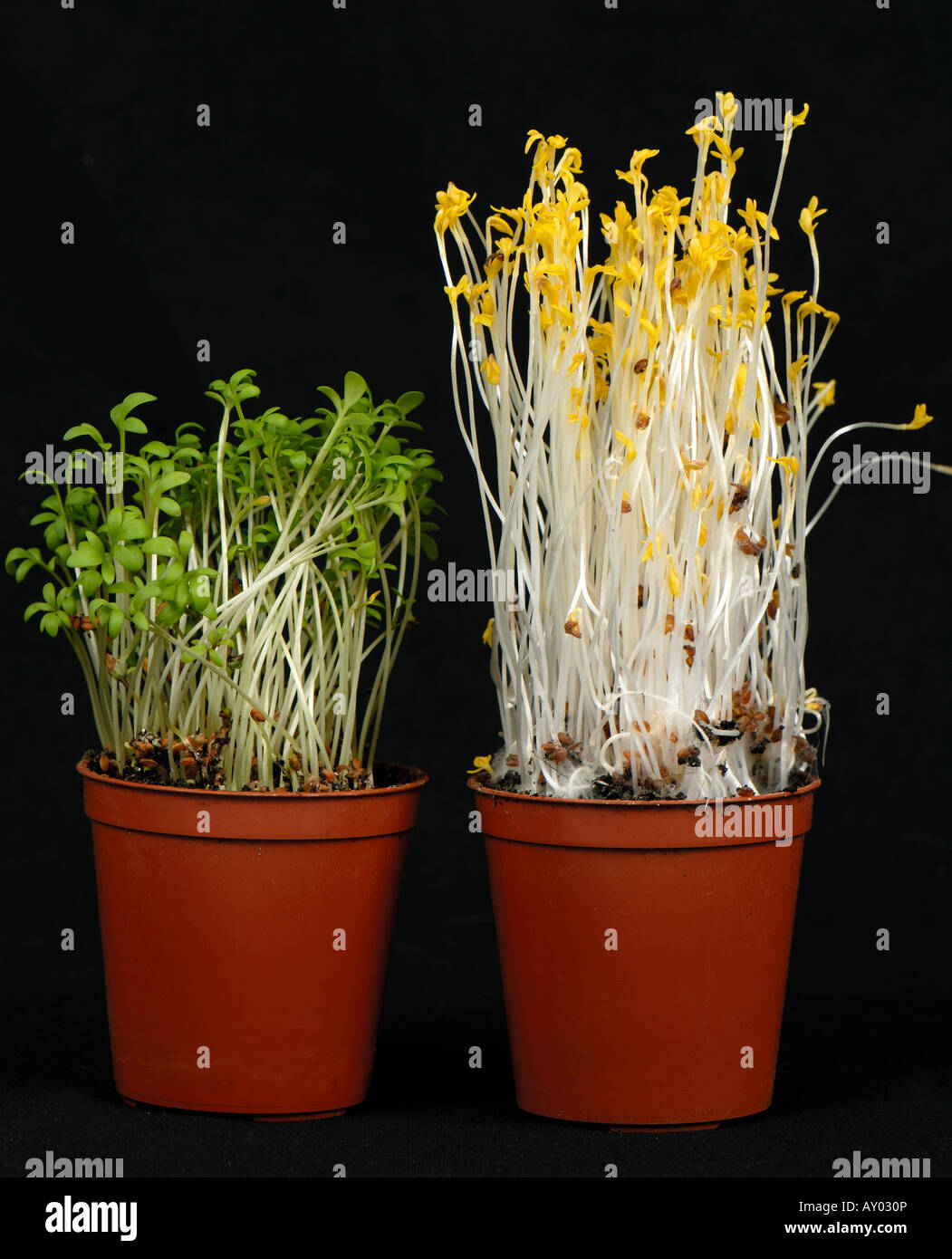 cress seedlings left grown in normal light compared to seedlings stock photo 16947957 alamy. Black Bedroom Furniture Sets. Home Design Ideas