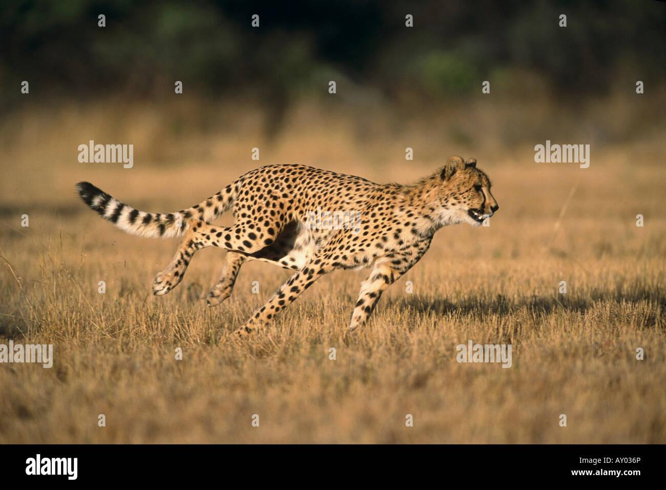 spotted - Cheetah sitting on hill on masai mara plane