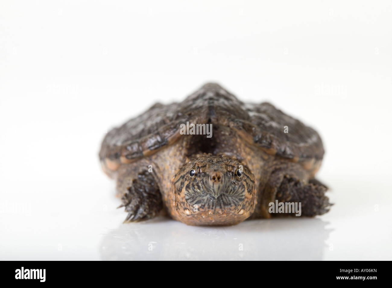 Young small snapping turtle in studio white background Stock Photo