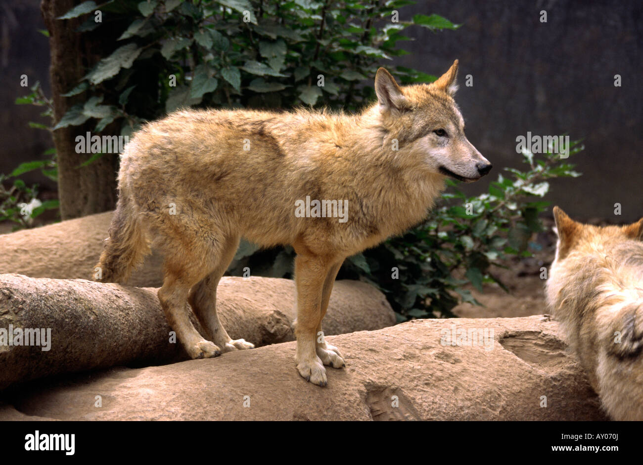 India West Bengal Darjeeling Zoo Himalayan Wolf Canis Inpus in captivity - Stock Image