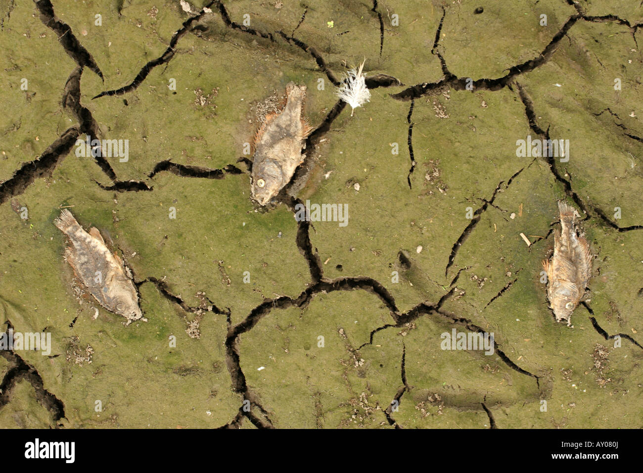 dead fish dried dry pond - Stock Image