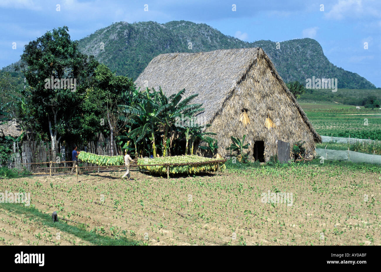 Tobacco Plantation - Stock Image