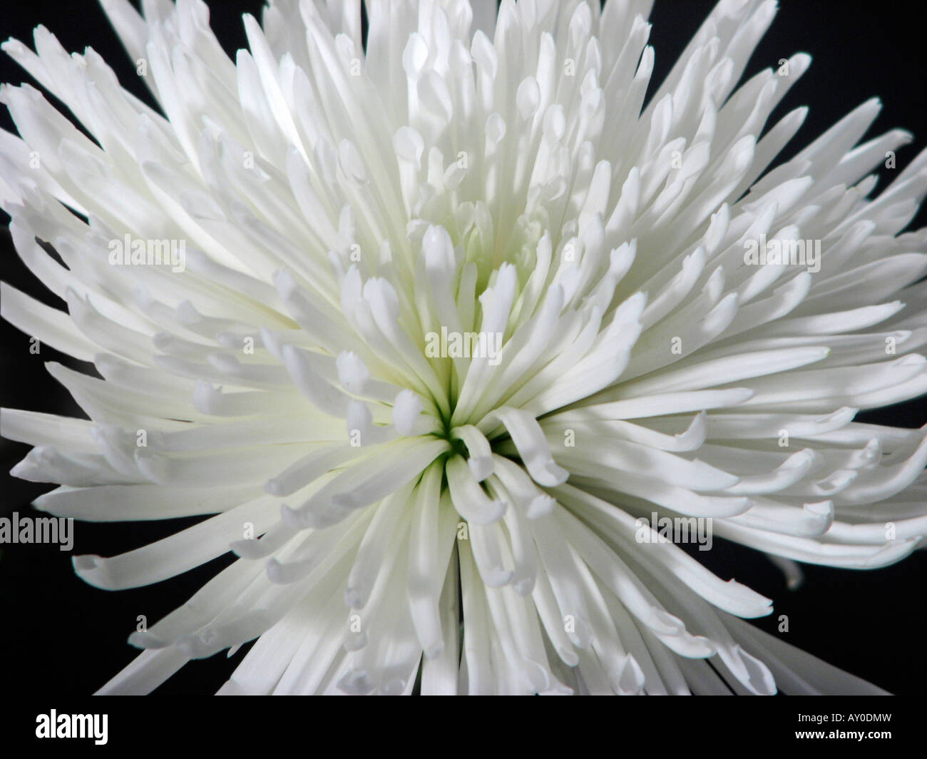 Chrysanthemum Anastasia White Stock Photos Chrysanthemum Anastasia