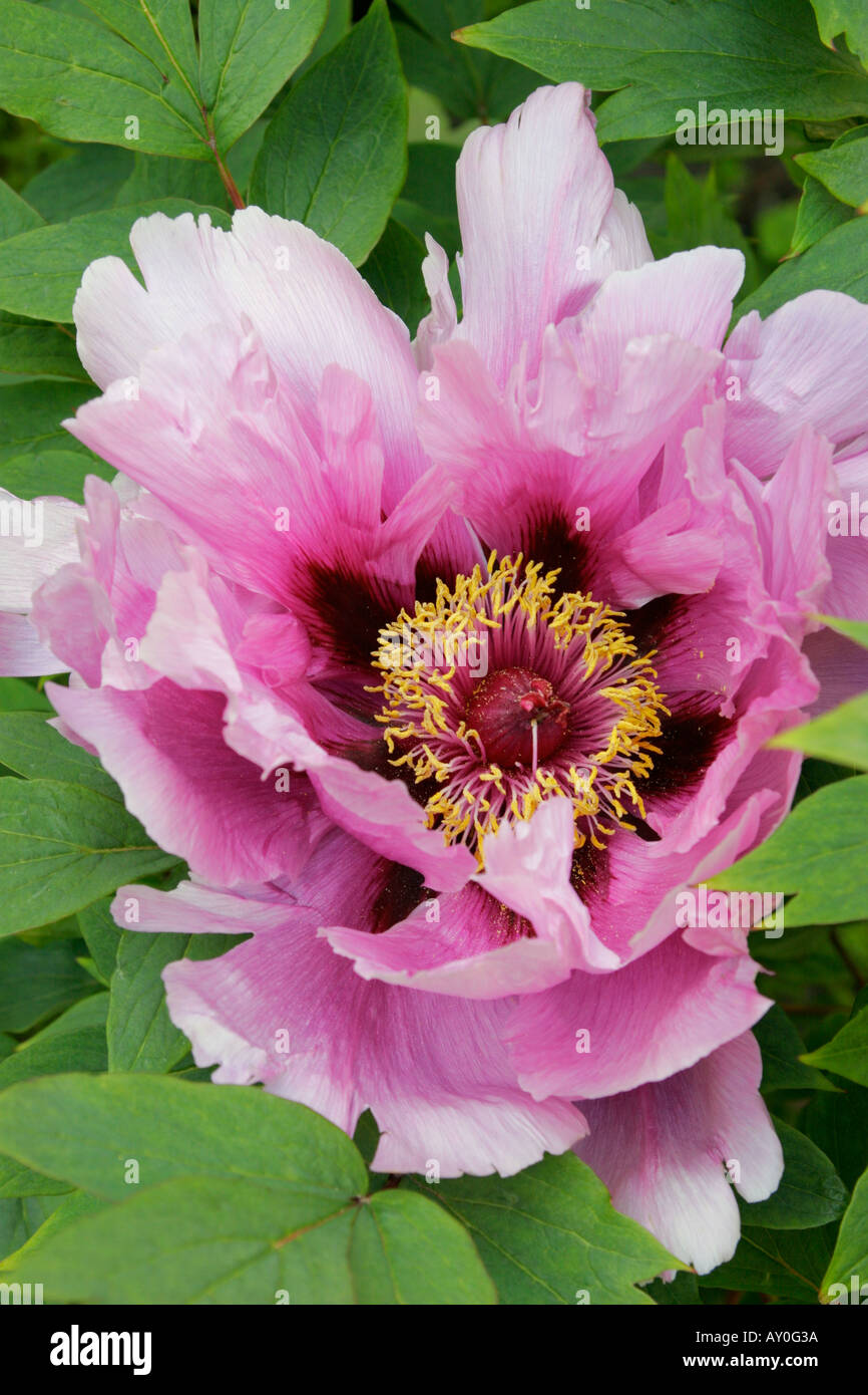 Pink Flower Of Japanese Tree Paeony Close Up Botanical Name Paeonia