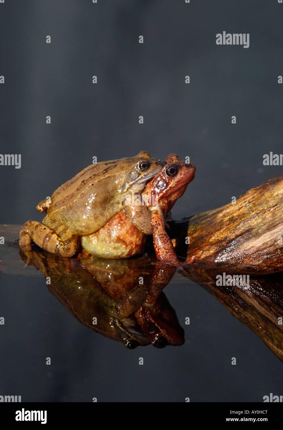 Common frog Rana temporaria Warwickshire mating spring - Stock Image