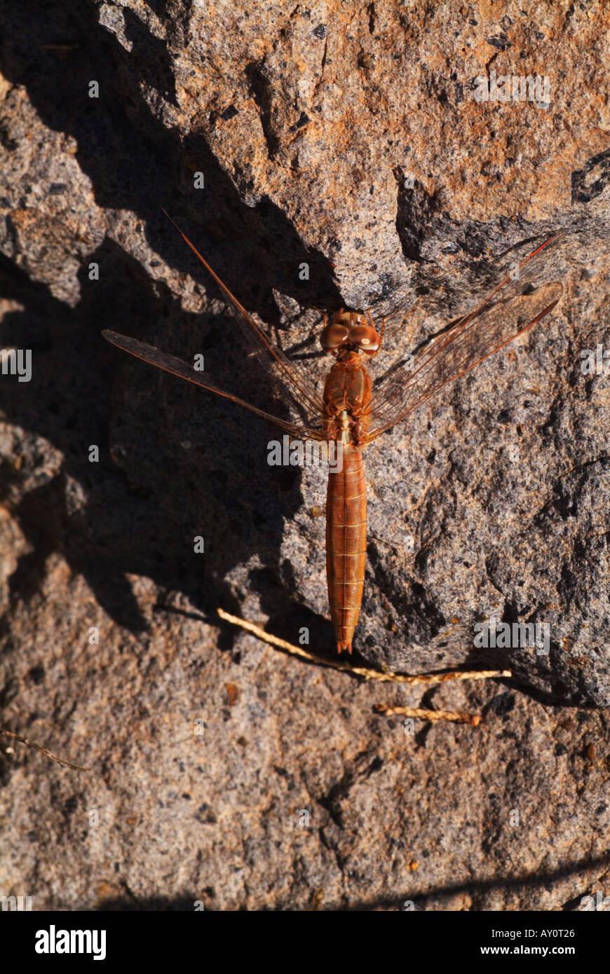 Scarlet Darter (Crocothemis erythraea) resting on rock. Stock Photo