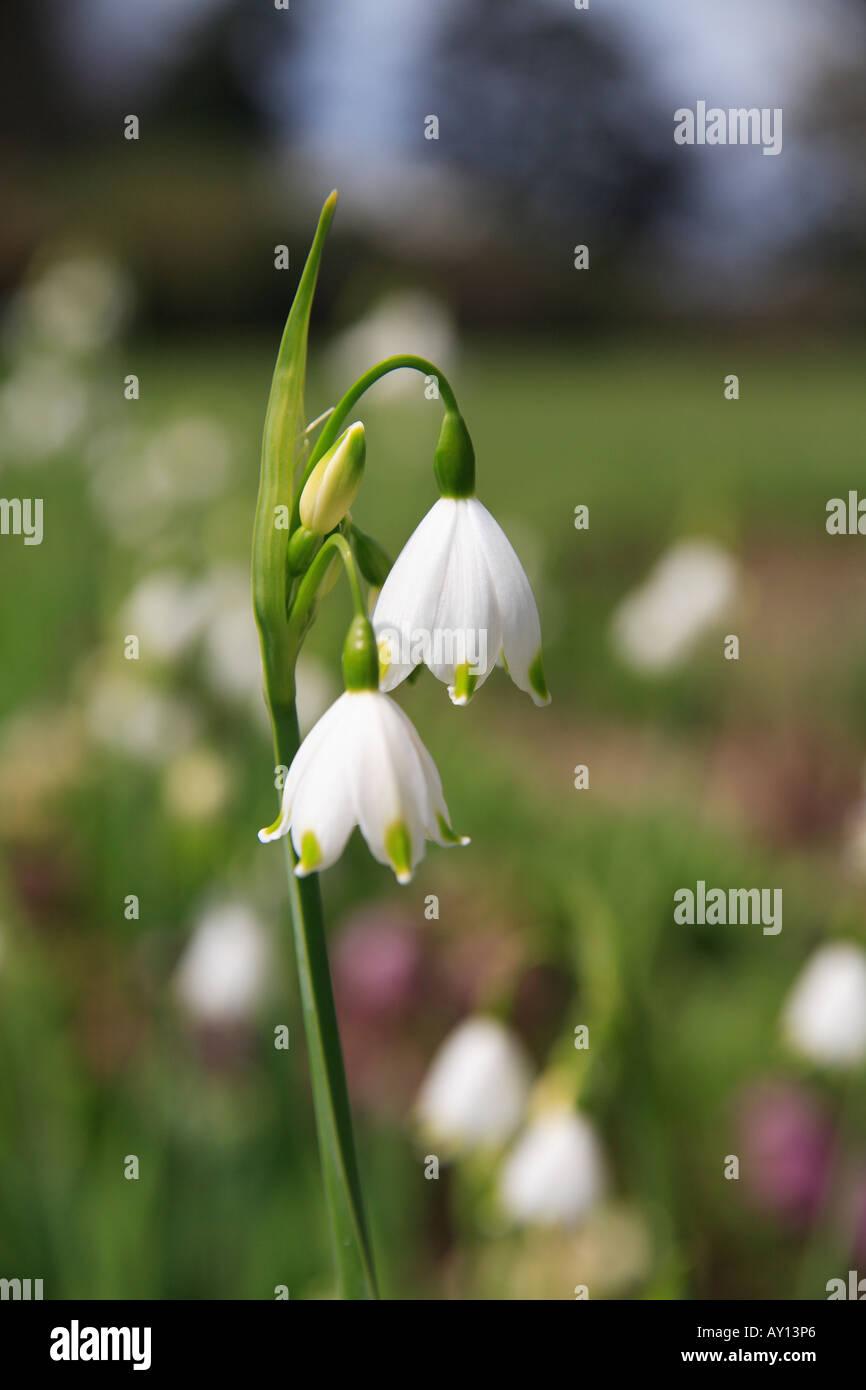 'Snowflake flower' white flower spring summer 'Leucojum'. - Stock Image