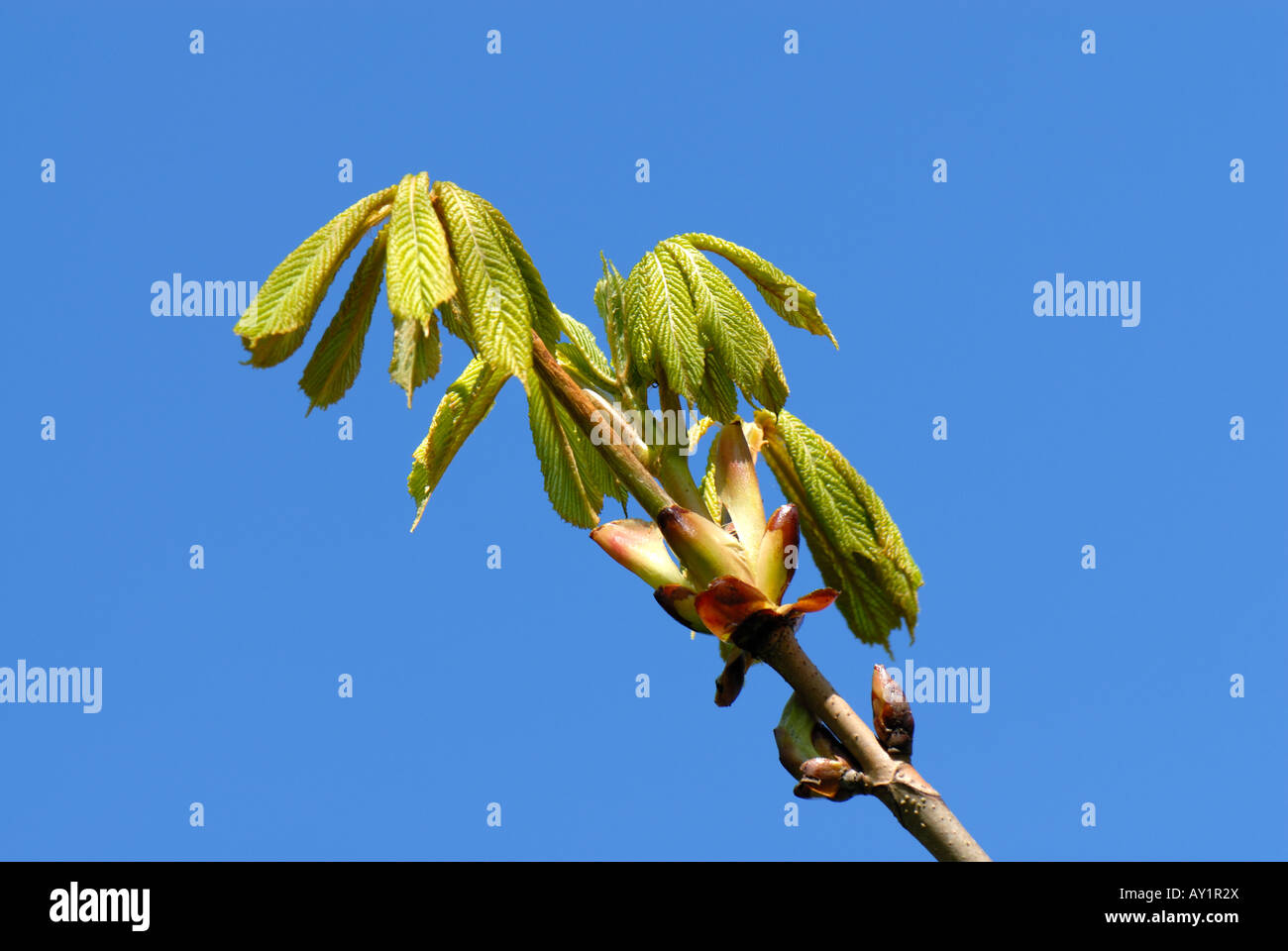 Horse chestnut Aesculus hippocastanum young leaves against a blue spring sky - Stock Image