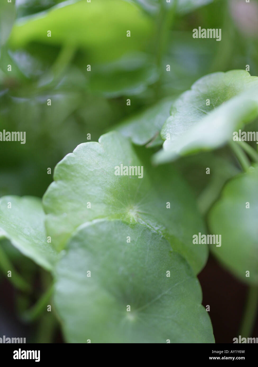 Close-up of leaves - Stock Image