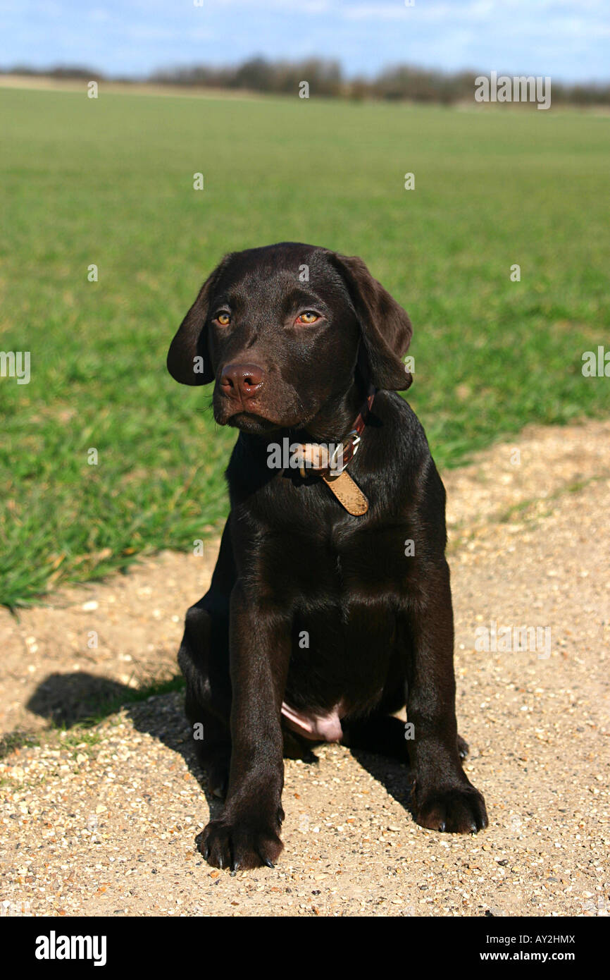 Chocolate Labrador Puppy In The English Countryside Stock Photo Alamy