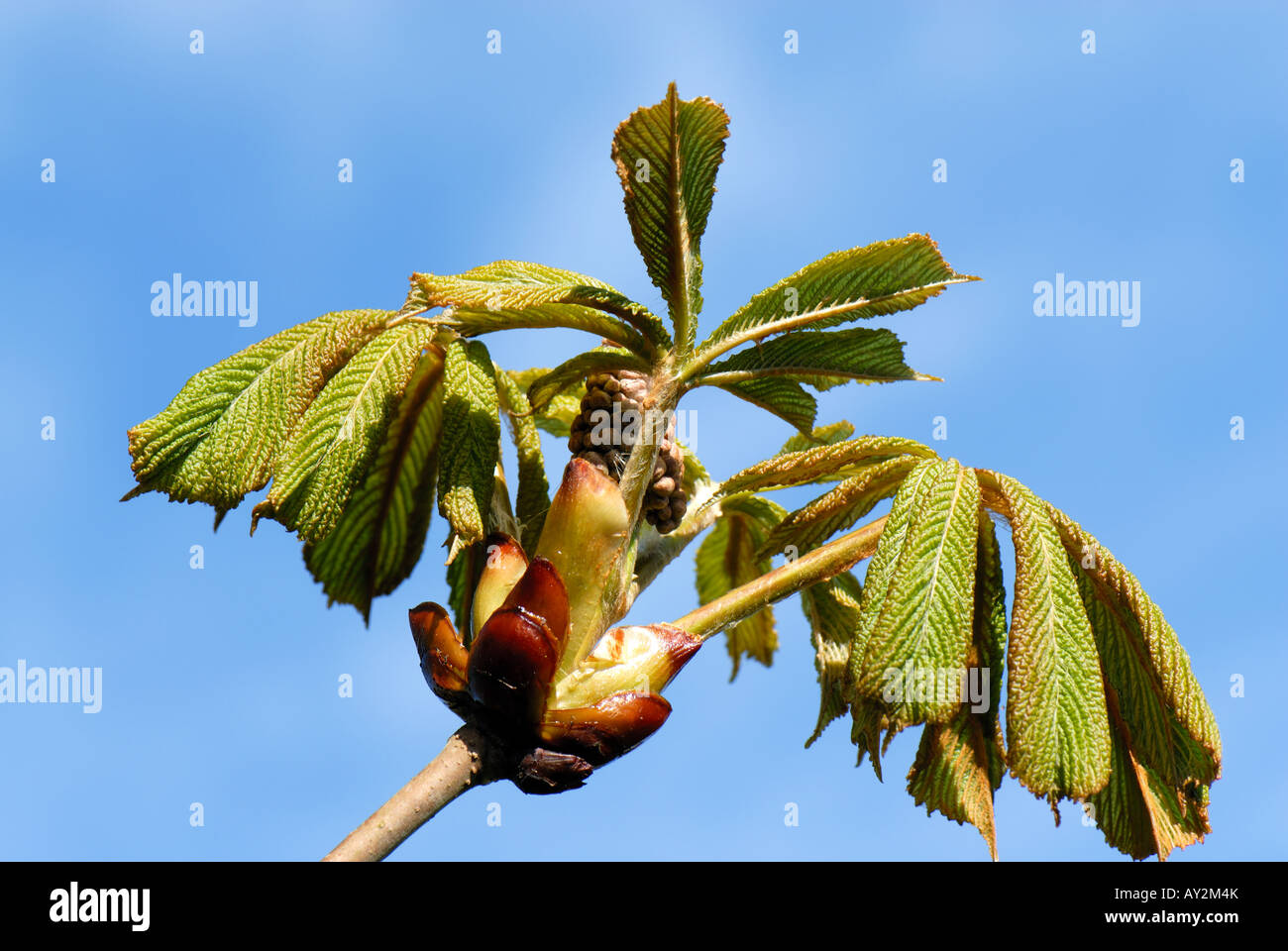 Horse chestnut Aesculus hippocastanum young leaves and tight flower bud against a blue spring sky - Stock Image