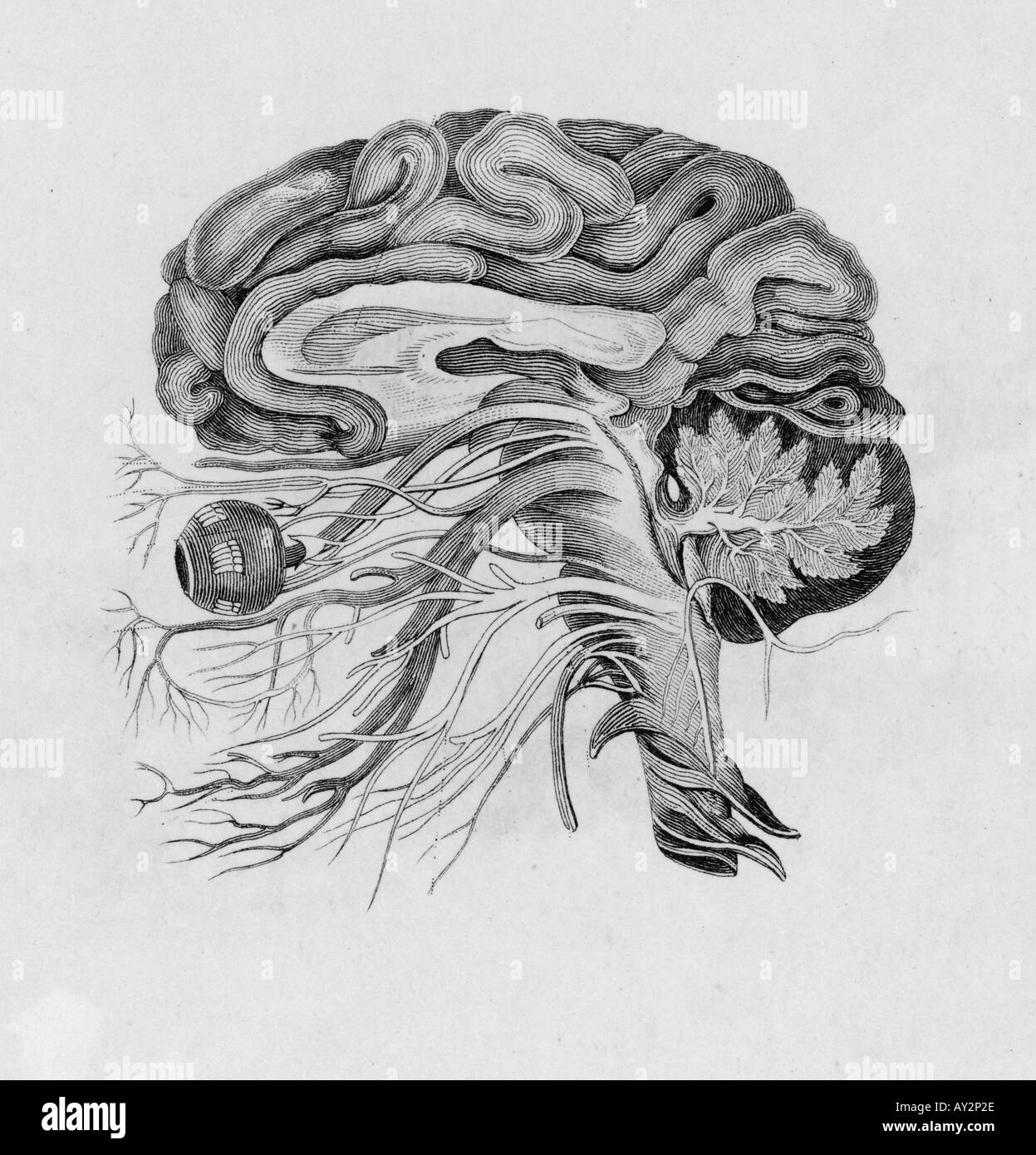 Anatomy Brain Side View Black and White Stock Photos & Images - Alamy