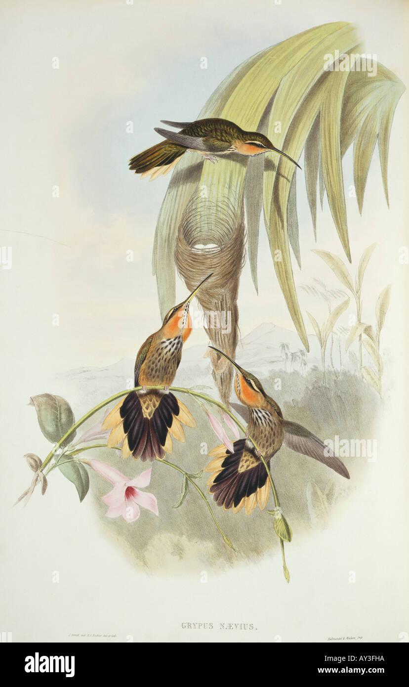Ramphodon naevius saw billed hermit - Stock Image