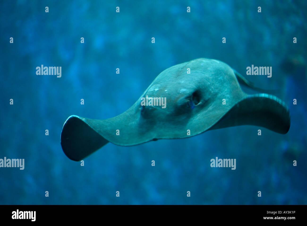manta ray zoology manta birostris - Stock Image