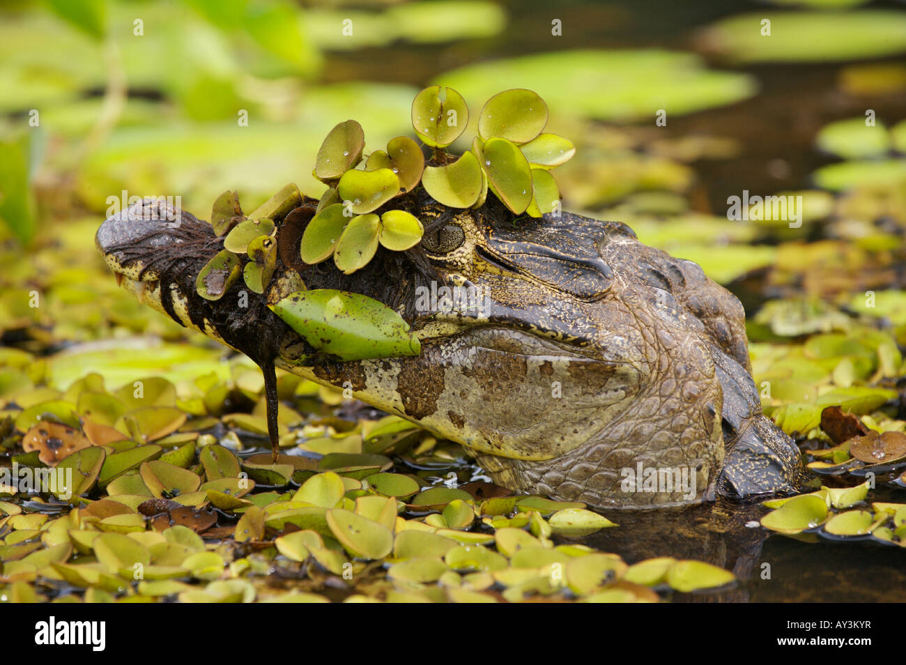 Yacare Caiman partially submerged among aquatic plants in the Pantanal Brazil - Stock Image