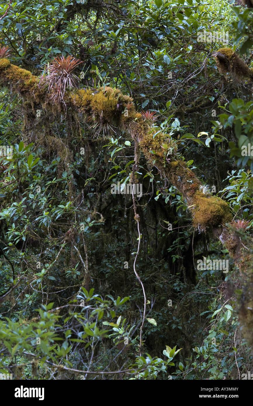 rain forest canopy ephiphite volta foresta tropical mushroom lichen epifite bromeliacee bromelia mountain cerro Stock Photo