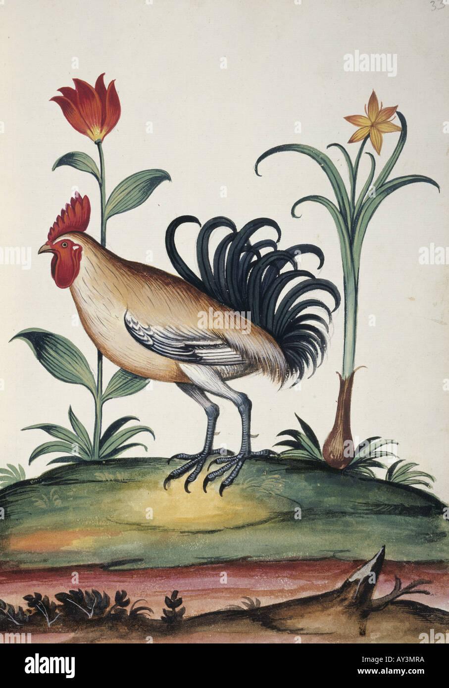 Unidentified junglefowl - Stock Image
