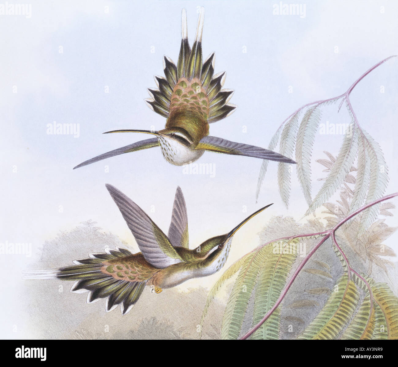 Phaethornis anthophilus pale bellied hermit - Stock Image