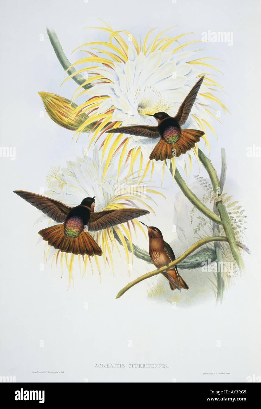 Aglaeactis cupripennis shining sunbeam - Stock Image