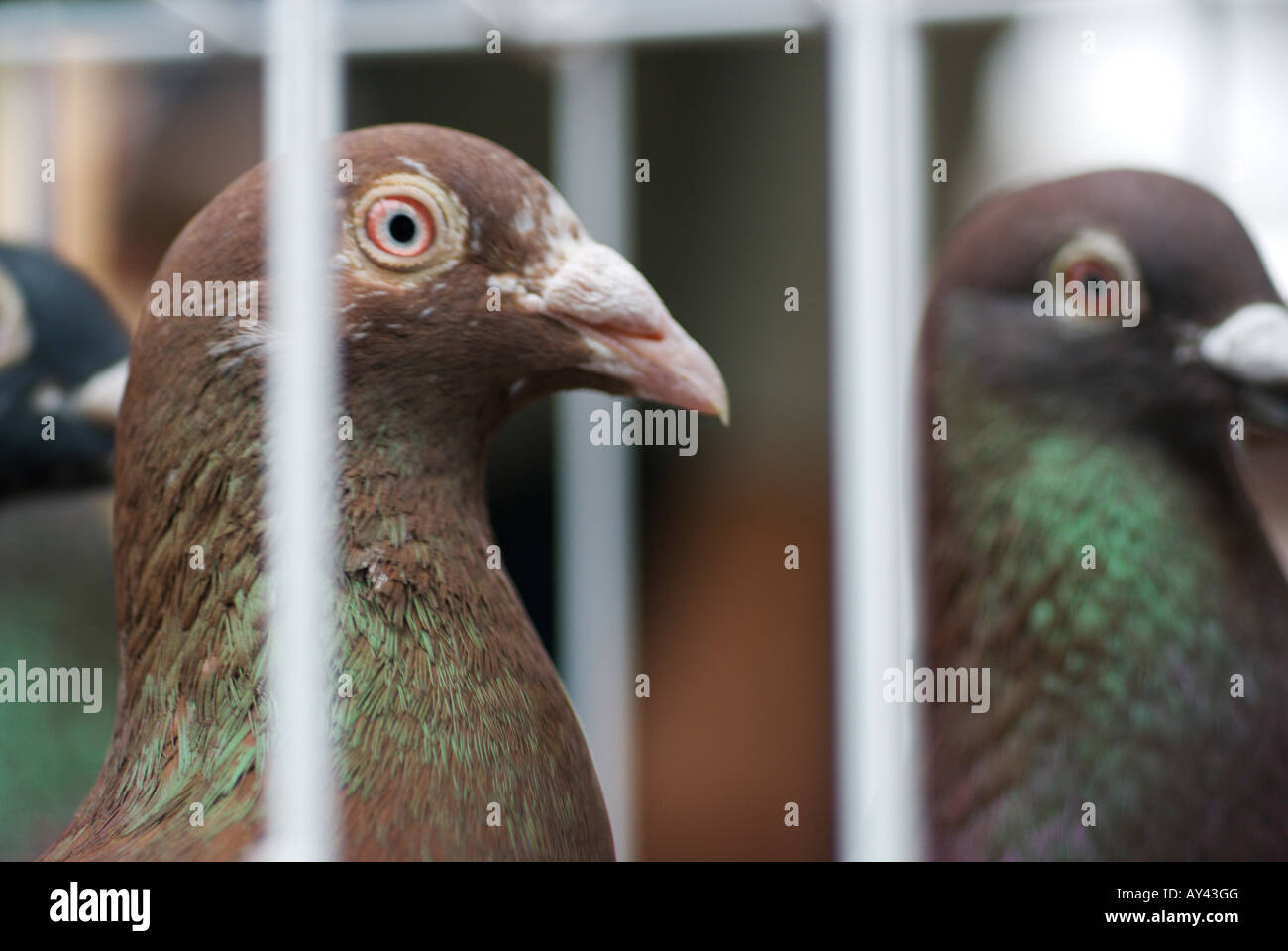 The heads of two caged racing pigeons with red eyes for sale
