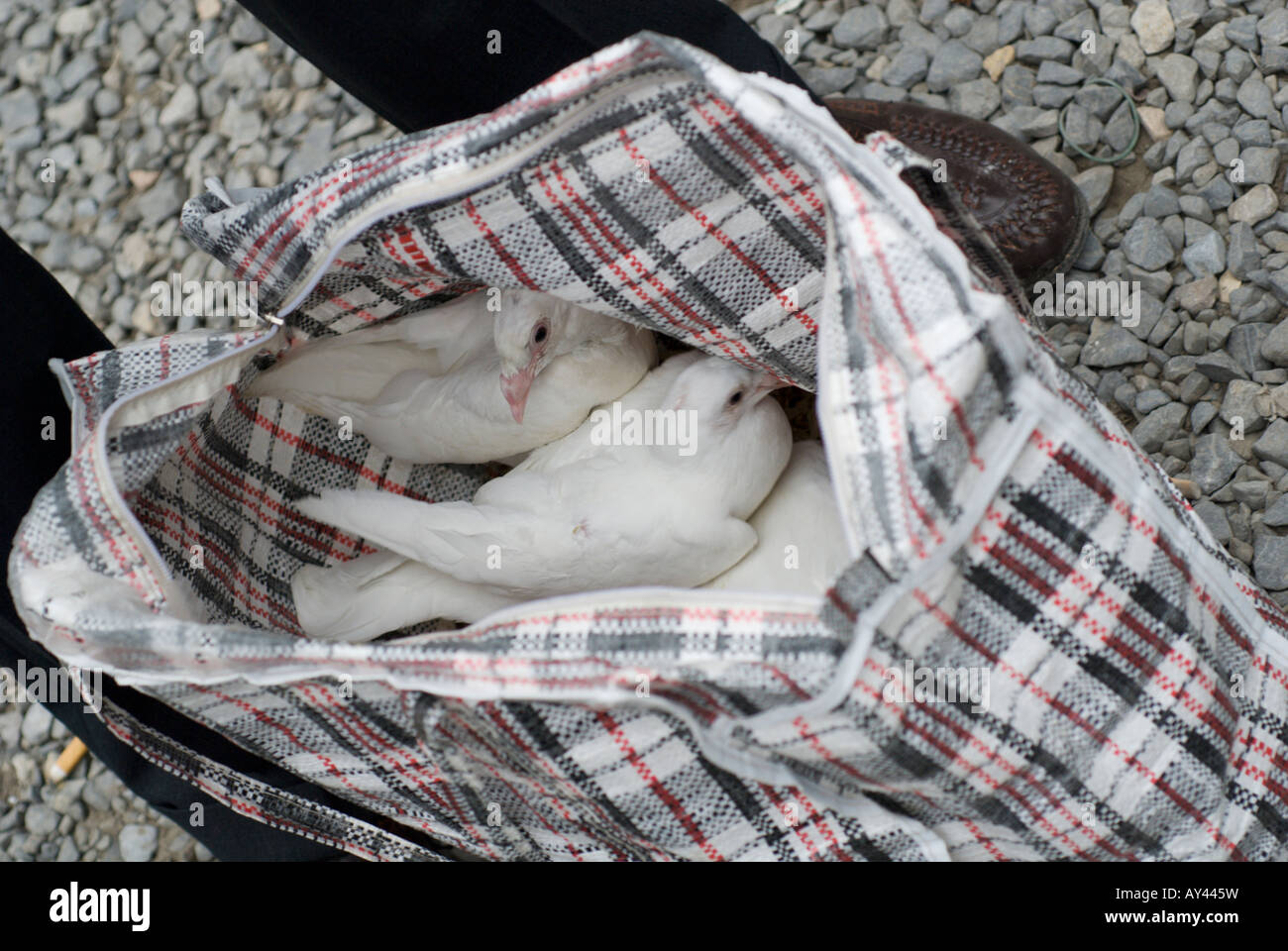 Doves For Sale >> White Racing Pigeons Or Doves For Sale In A Bag At A Street Market