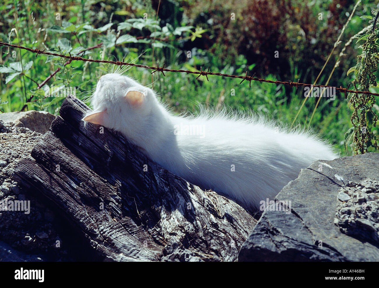 White Persian cat lying on trunk, below barbed wire. Stock Photo
