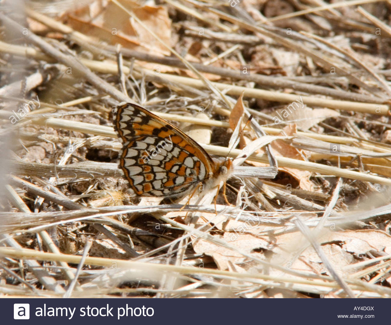 Sagebrush Checkerspot Chlosyne acastus Butterfly  Nymphalidae Subfamily Nymphalinae Stock Photo