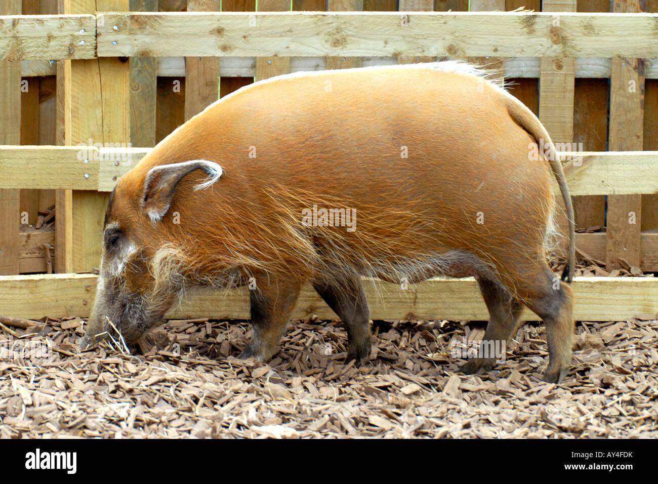 woburn safari park , exotic hairy pig stock photo: 16989774 - alamy