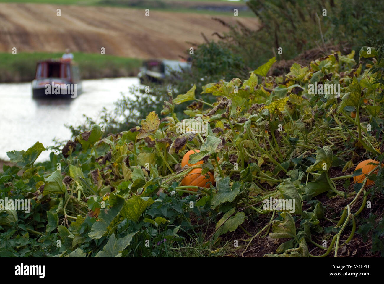 Wild pumpkins growing by the side of the Grand Union canal two narrowboats navigating in the distance - Stock Image