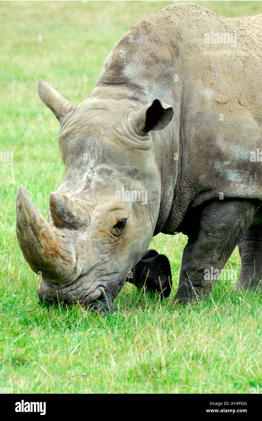 BHZ Woburn Safari Park , close up of rhinoceros grazing - Stock Image