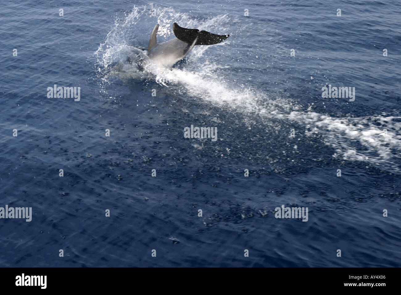 Dolphin tail diving into sea Adriatic Croatia Mediterranean Europe - Stock Image