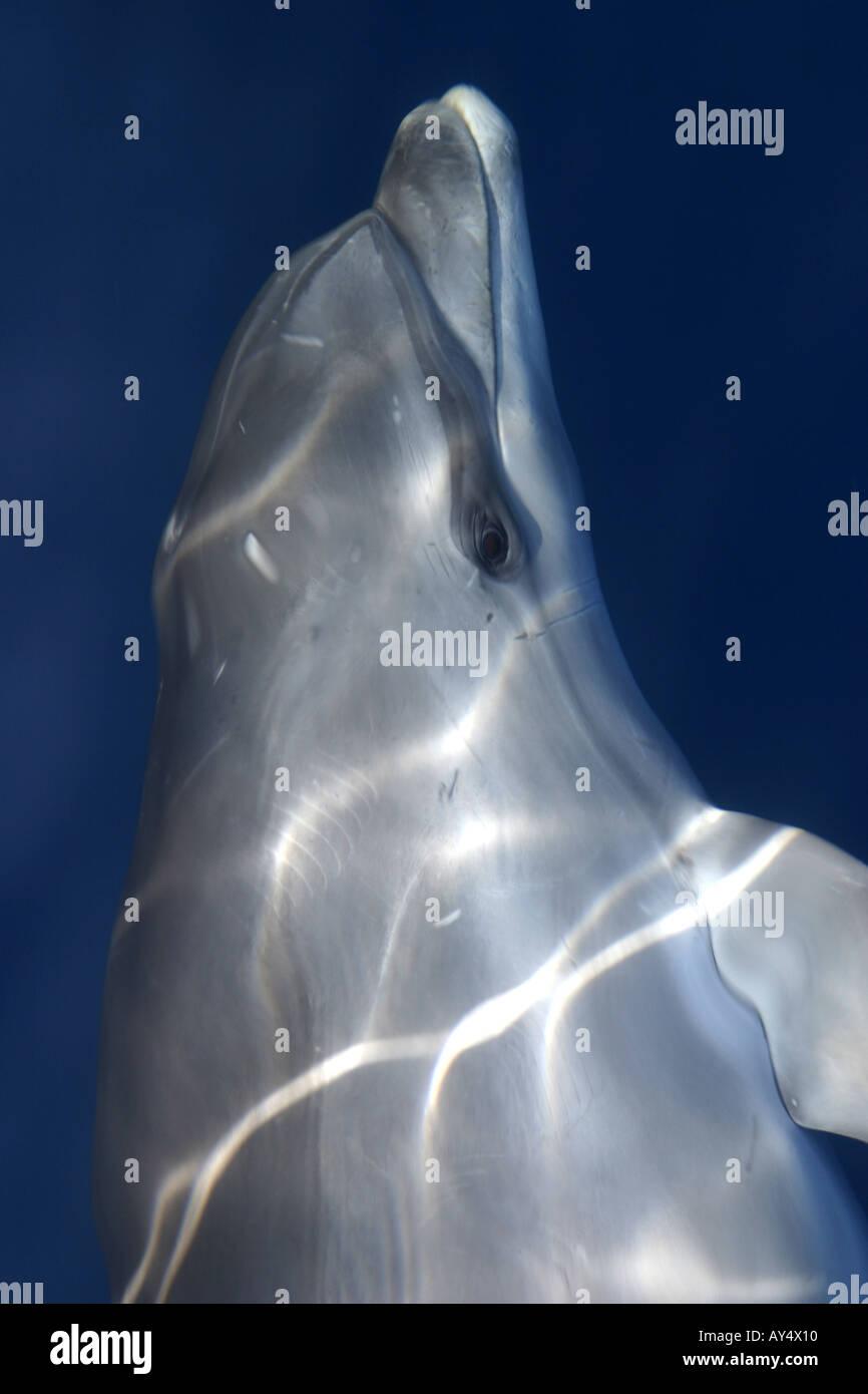 Dolphin swimming in sea Adriatic Croatia Mediterranean Europe - Stock Image