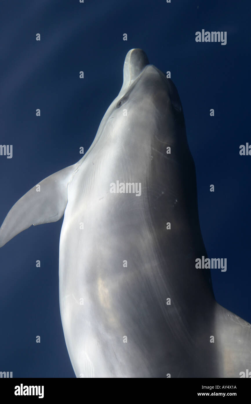 Dolphin swimming in sea Adriatic Croatia - Stock Image