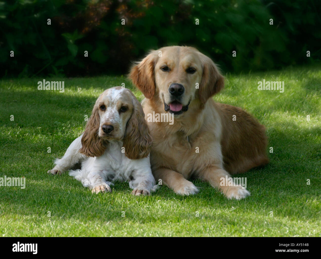 Vaak Golden Cocker Retriever Stock Photos & Golden Cocker Retriever &RS01