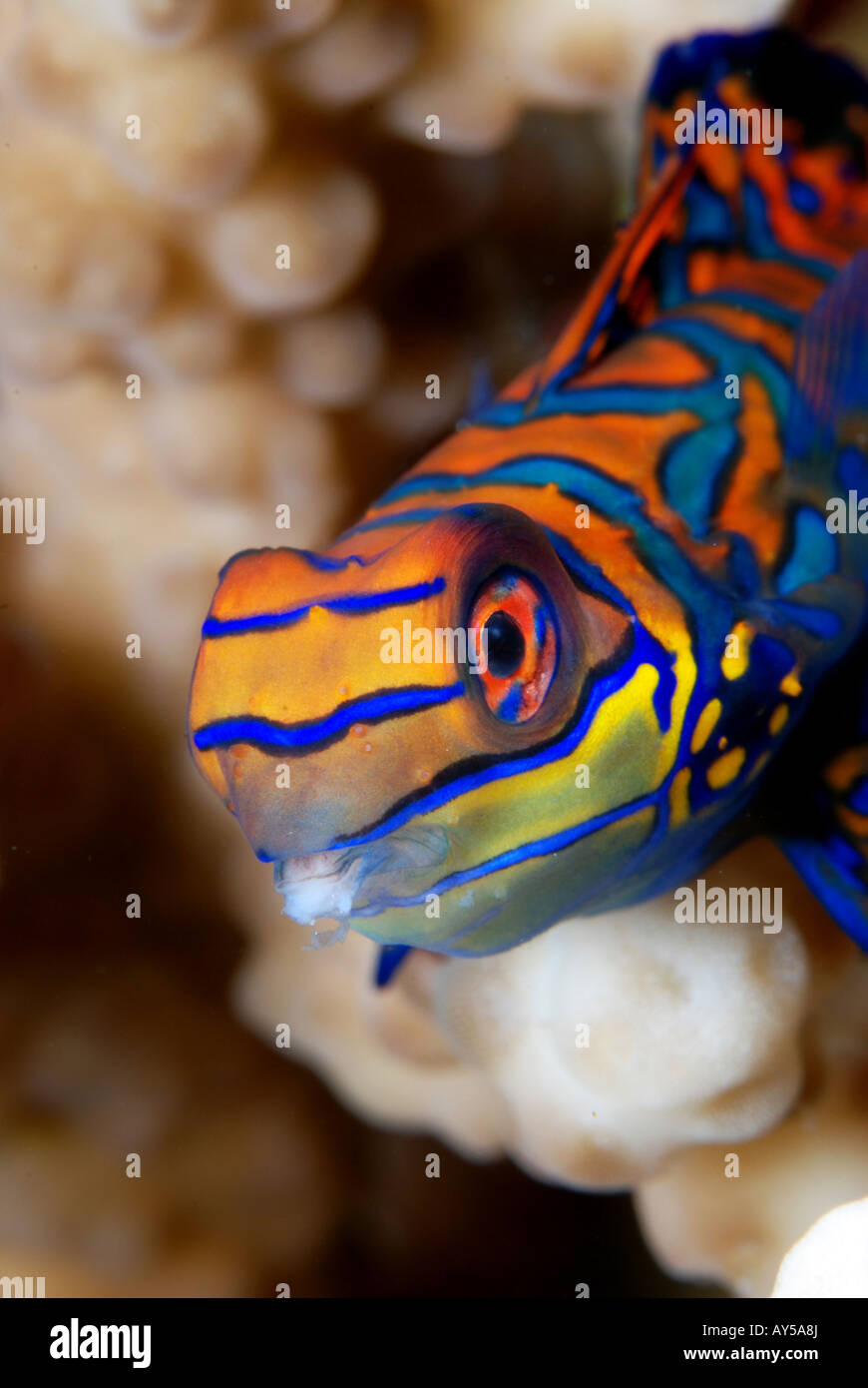 Mandarinfish in Wakatobi, Sulawesi, Indonesia. - Stock Image