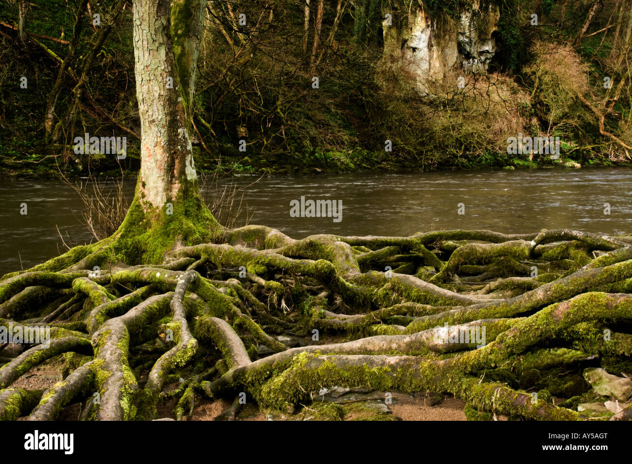 Tree roots exposed by river erosion on the banks of the River Ure at Aysgarth in Wensleydale, North Yorkshire. - Stock Image