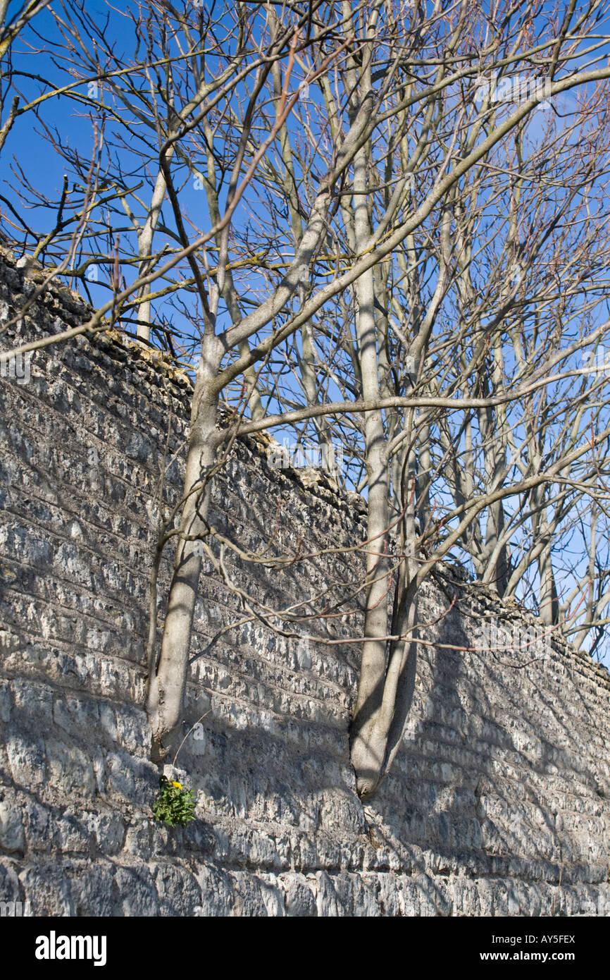 Young trees growing in stone wall crevices. Jeunes arbres poussant dans les anfractuosités d'un mur de pierre. Stock Photo