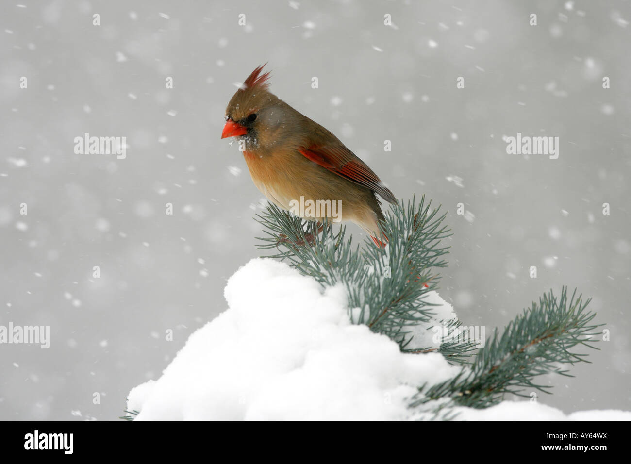 Female Northern Cardinal Perched on Snow Covered Spruce - Stock Image