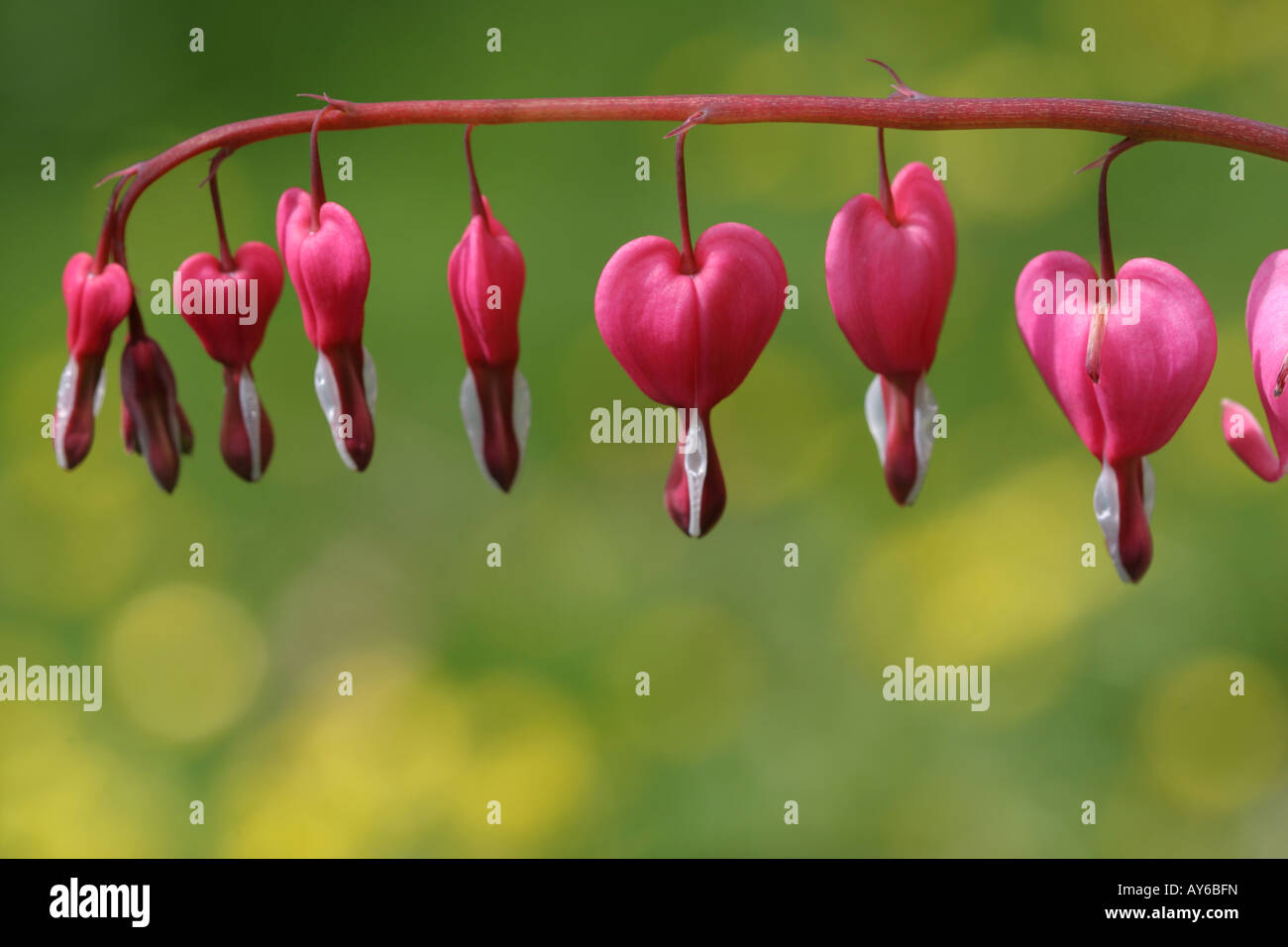 Row of pink heart shaped flowers stock photo 17007272 alamy row of pink heart shaped flowers mightylinksfo