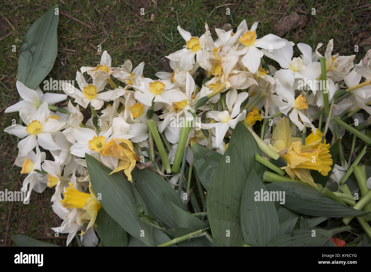 Daffodil flowers discarded on grass - Stock Image