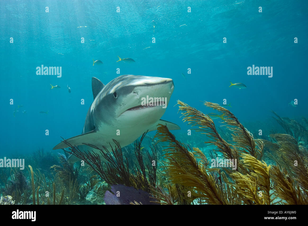 TIGER SHARK GALEOCERDO CUVIER PHOTOGRAPHED OFF OF WEST END GRAND BAHAMA BAHAMAS ISLANDS - Stock Image