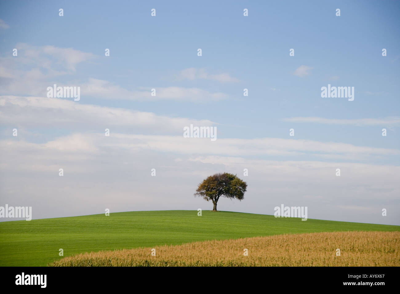 A single tree in a field of forage maize and grass - Stock Image