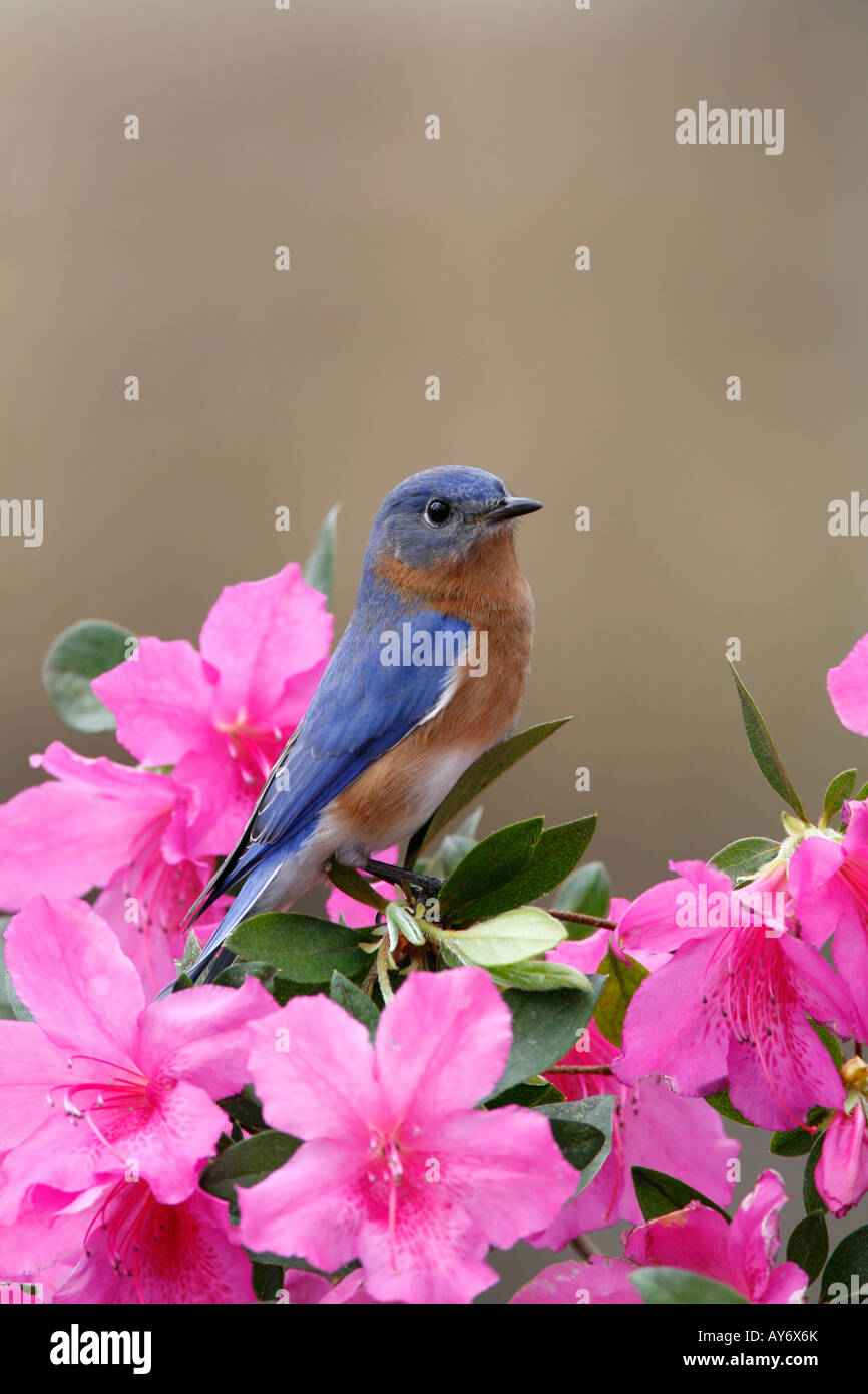 Eastern Bluebird Perched on Azalea Blossoms - Vertical - Stock Image